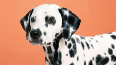Ein süßer Dalmatiner vor einem orangen Hintergrund.