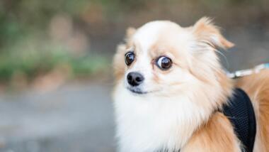 Vor verschwommenem Hintergrund ist ein brauch-weisser, langhaariger Chihuahua mit scheinbar skeptischem Gesichtsausdruck zu sehen